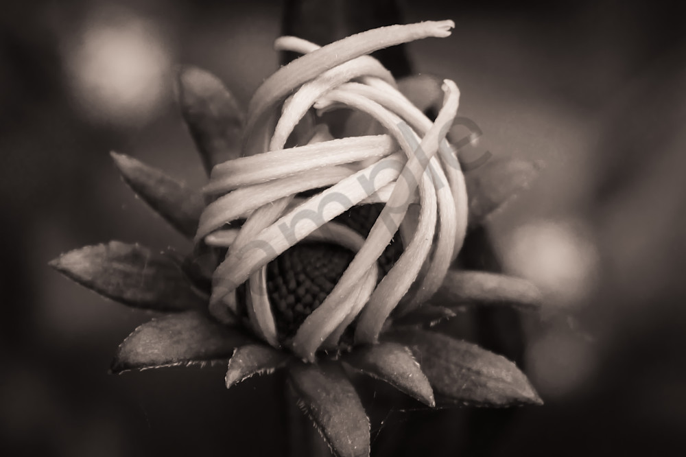 Sepia toned black & white photograph of a flower with unfurling petals, for sale as fine art by Sage & Balm