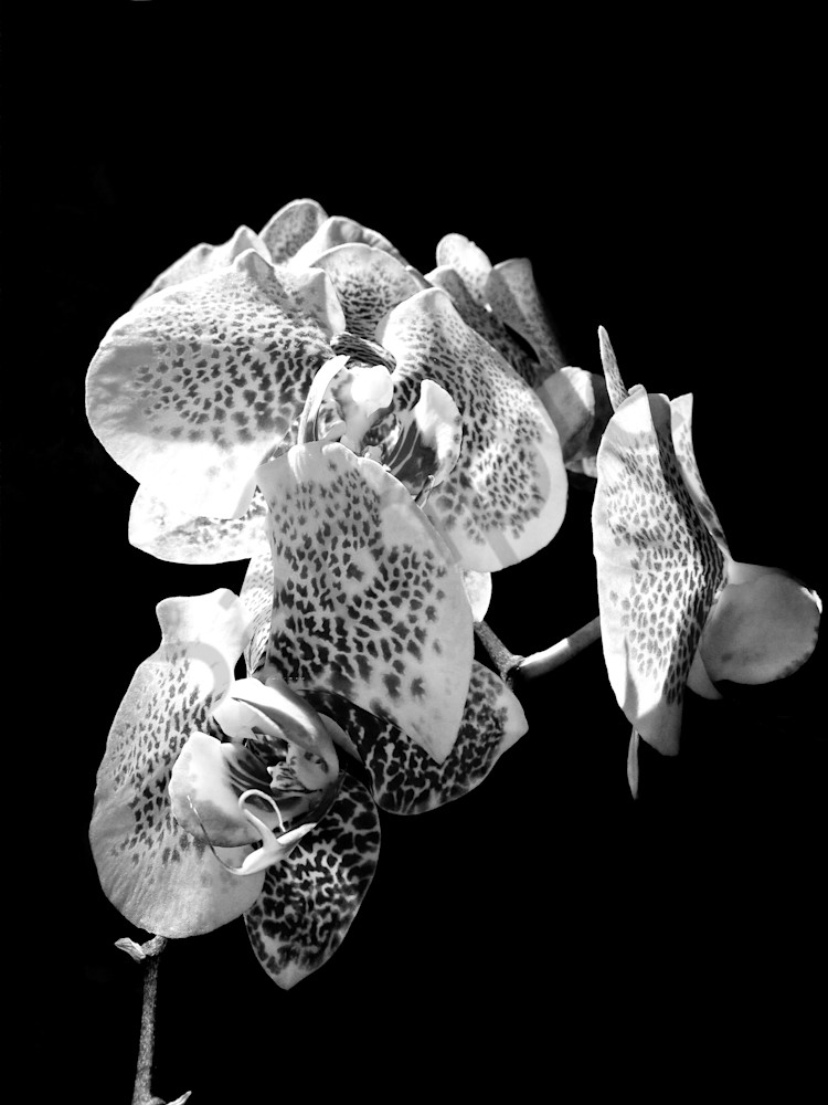 Black & white abstract floral photograph of orchids in still life, for sale as fine art by Sage & Balm