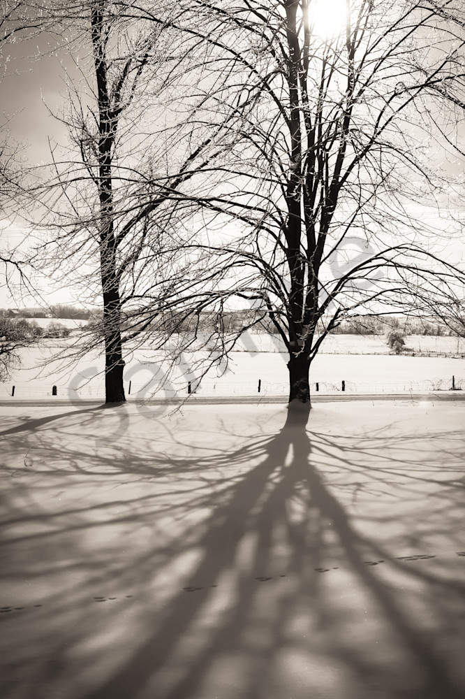Black & white photograph of a Maple tree casting a shadow in winter, for sale as fine art by Sage & Balm