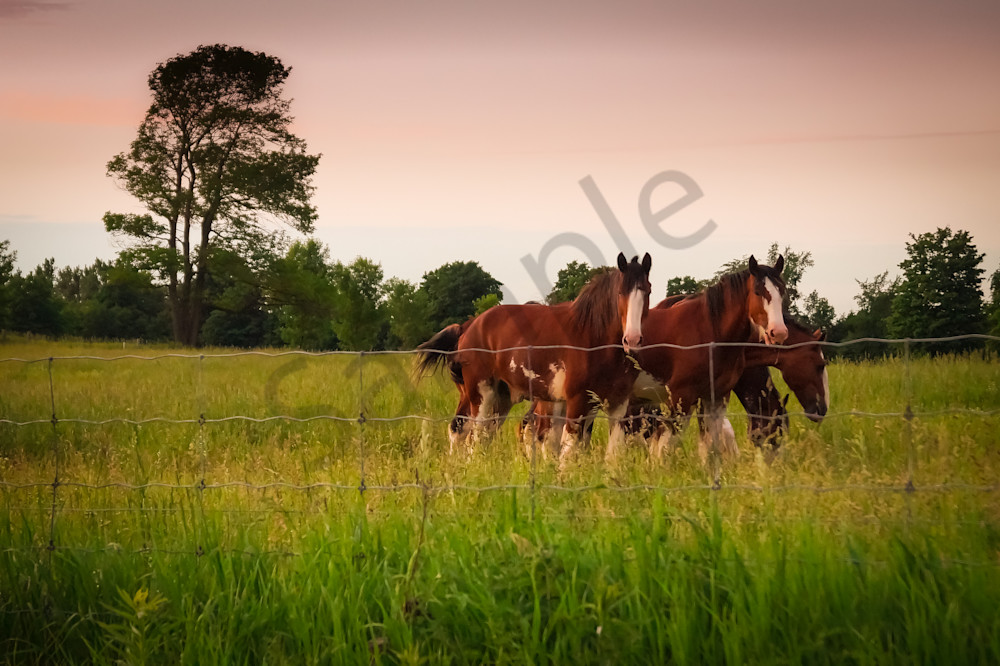 Color country & ruralscape photograph of horses in a rural Ontario farmer's field at sunset, for sale by Sage & Balm