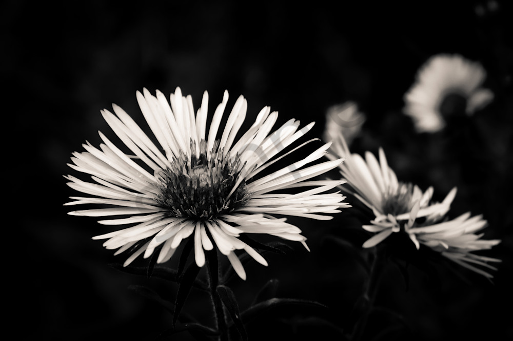 Black & white floral photograph of wild Ontario asters in still life, for sale as fine art by Sage & Balm