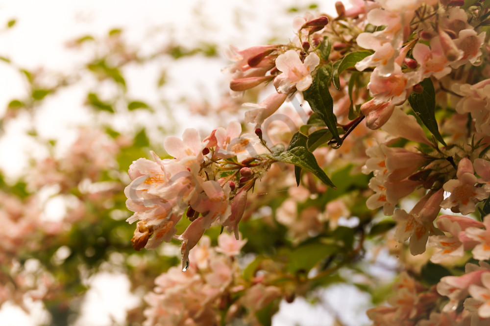 Floral photograph of pale pink abelia Honeysuckle blossoms, for sale as fine art by Sage & Balm