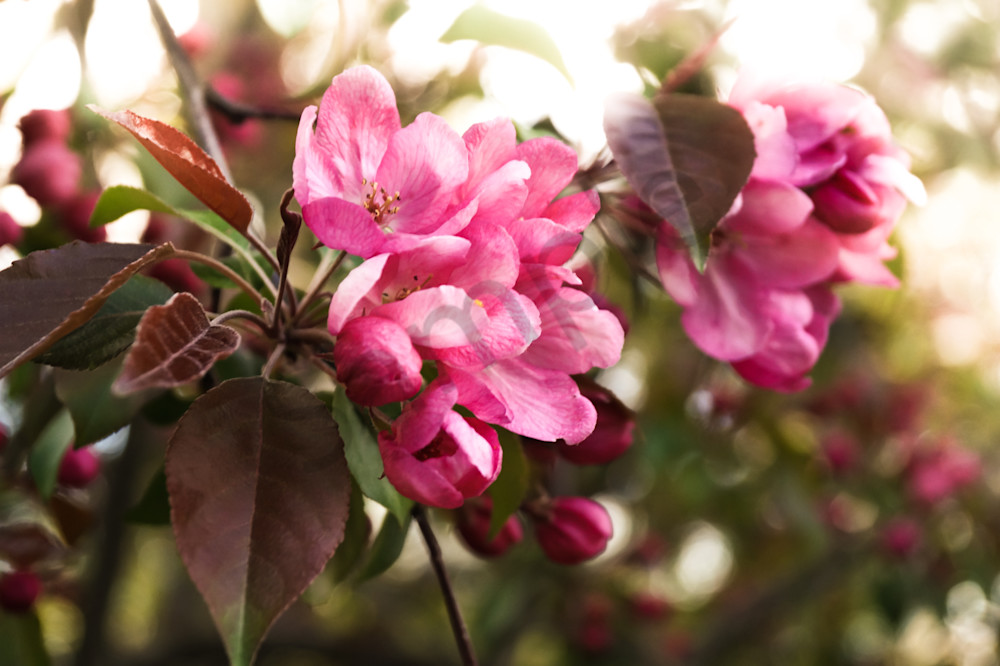 Floral photograph of dark pink cherry blossoms in spring, for sale as fine art by Sage & Balm