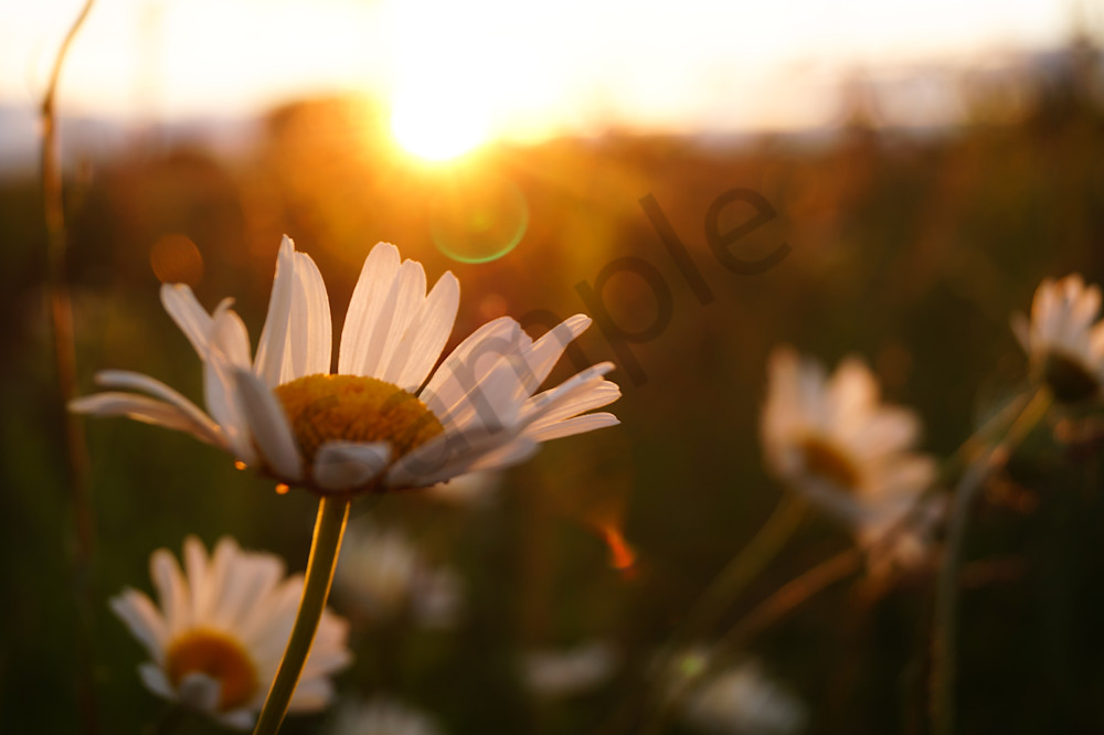 Floral photograph of daisy flowers at sunset, for sale as fine art by Sage & Balm