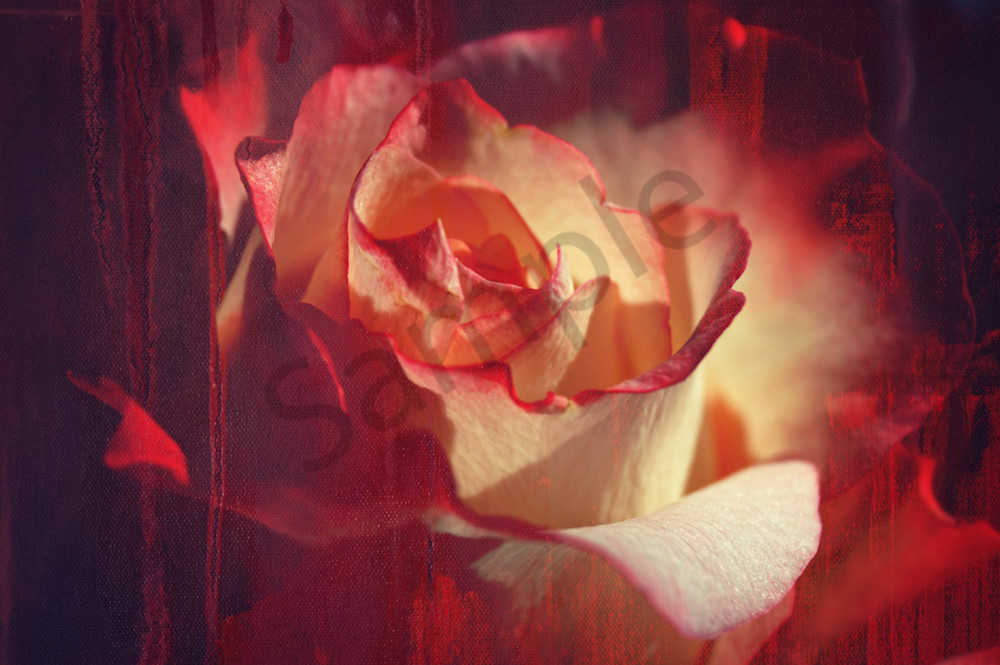 Floral photograph of a pink, red and cream colored rose that looks like an abstract painting, for sale as fine art by Sage & Balm