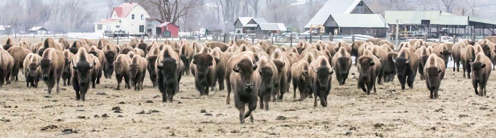 Bison Ranch Photography Art | Barb Gonzalez Photography