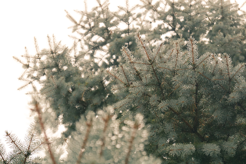 Abstract & conceptual nature photograph of a blue spruce covered in water drops on a foggy winter day, for sale as fine art by Sage & Balm