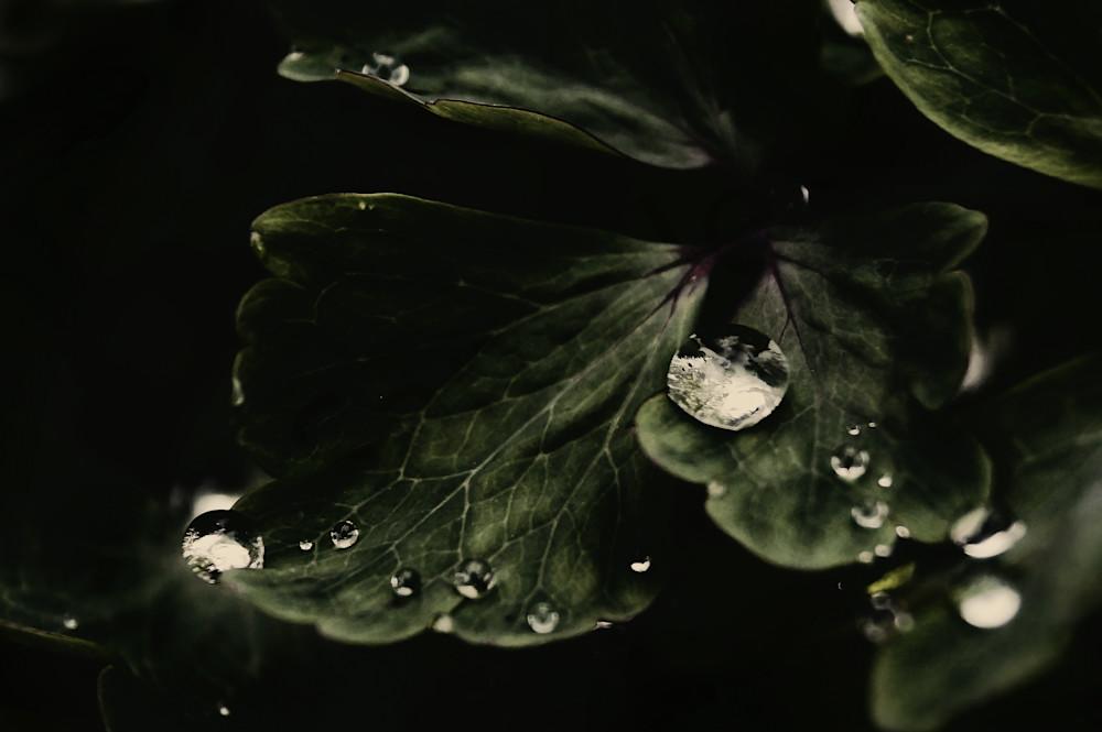 Drops On A Columbine Photography Art | Sage & Balm Photography