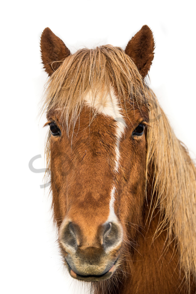 Fine art photograph of brown horse with white strip on face, head shot, white background