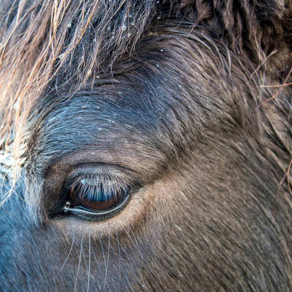 Square image of a close-up of Icelandic horse's eye, with rain on head, in art photograph