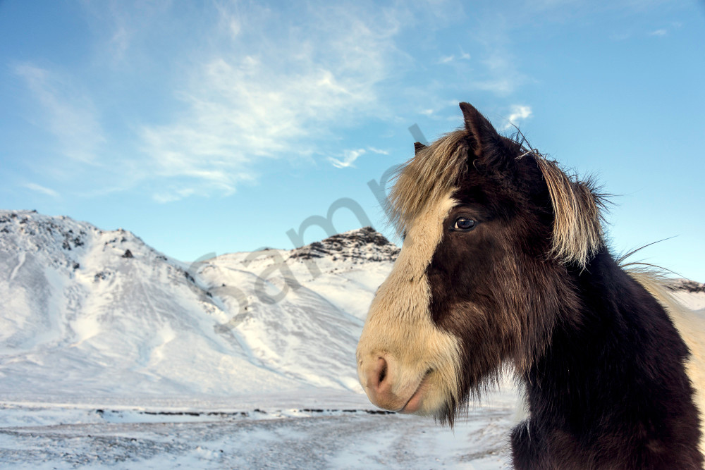 Brown and white Icelandic horse in winter landscape in a fine art photograph