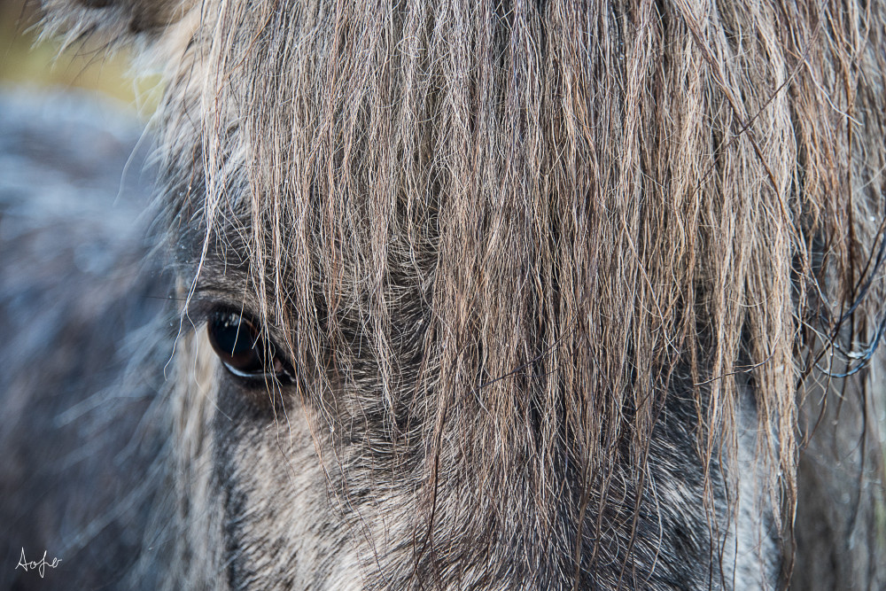 Gray Icelandic horse from the front with only one eye visible in fine art photograph
