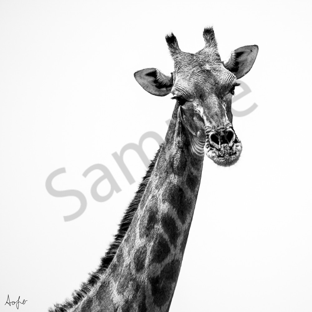 Neck and head of giraffe in back and white square photo.
