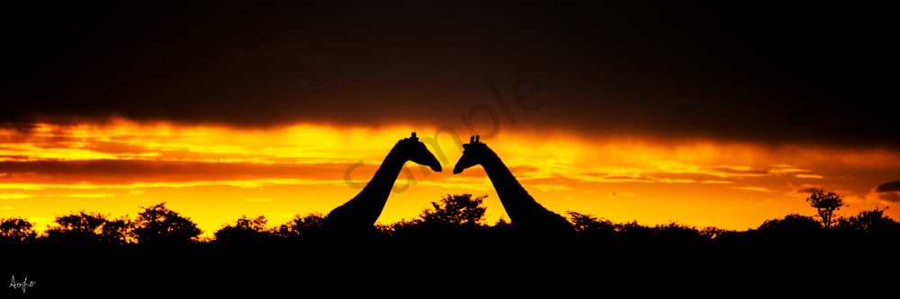 Two giraffes facing each other in a panorama sunset