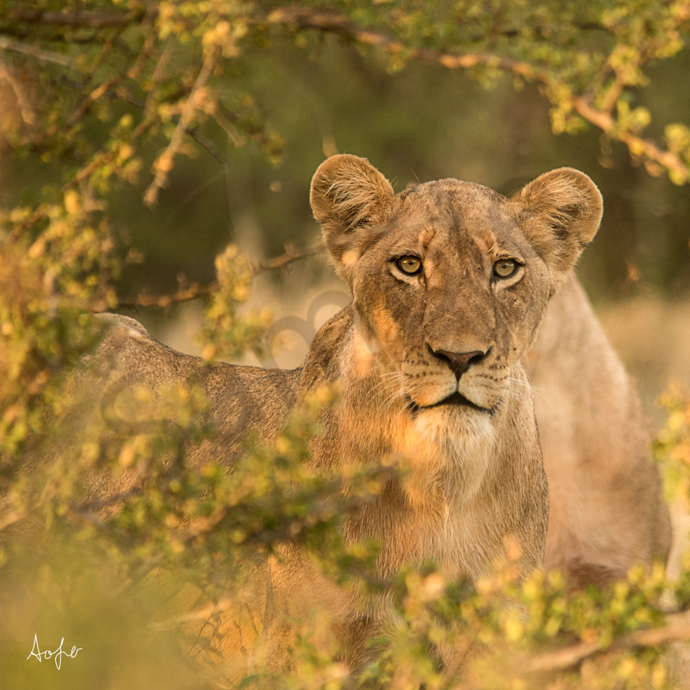 Lioness in the bush with early morning light, as art photograph