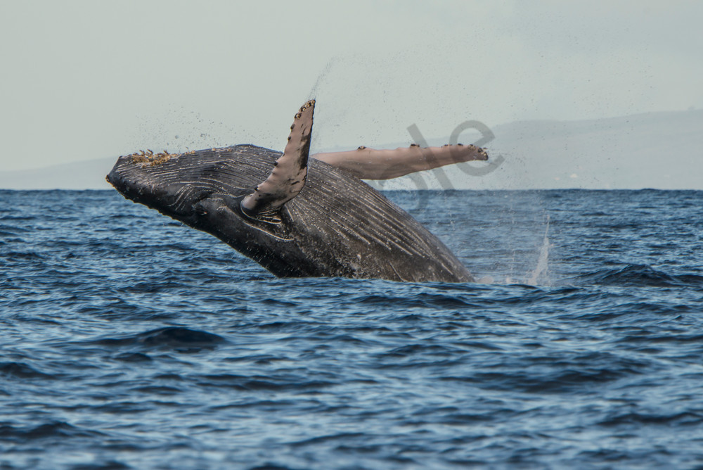 Humpback Breach - off the coast of Maui - whale - photography - fine art prints