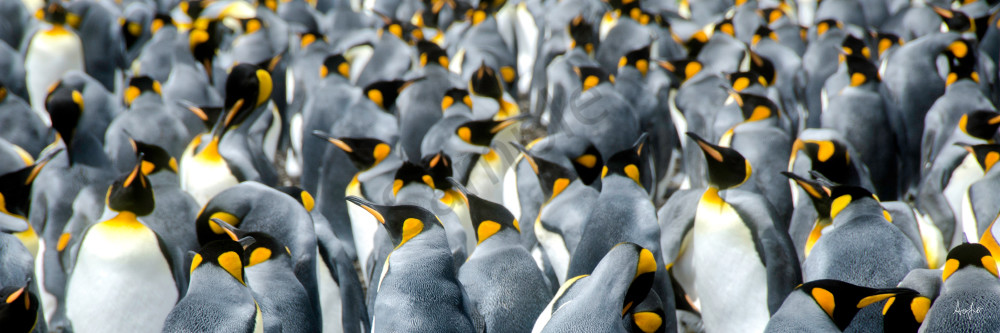 King penguin colony in panorama art photograph