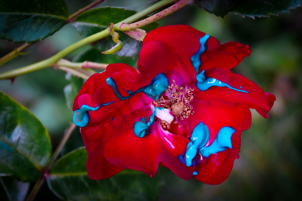 Blue Paint Red Rose