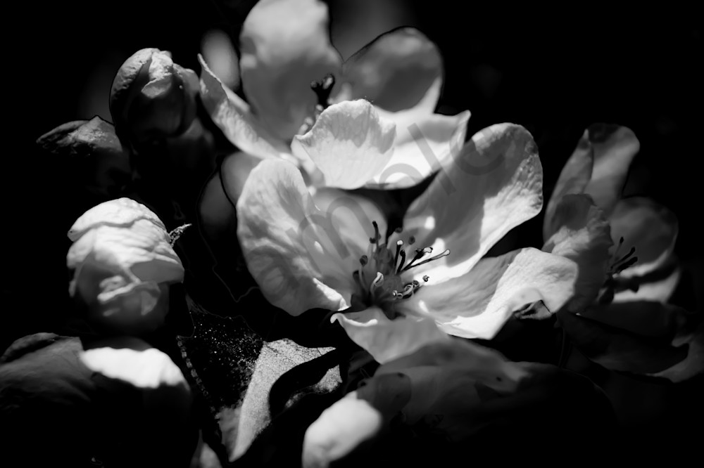 Black White Floral Photograph Of Romantic Cherry Blossoms For Sale By Sage Balm
