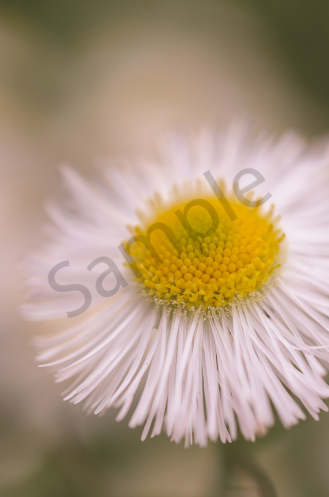 Philadelphia Flaebane Single Bloom Nature Photo Wall Art by Nature Photographer Melissa Fague