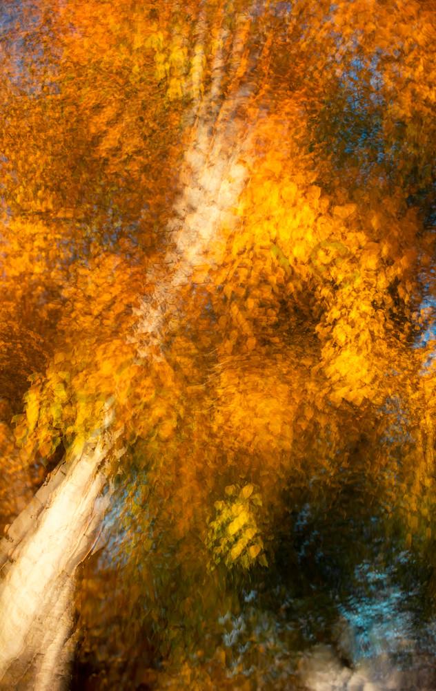 Autumn Birch for sale as fine art photograph.