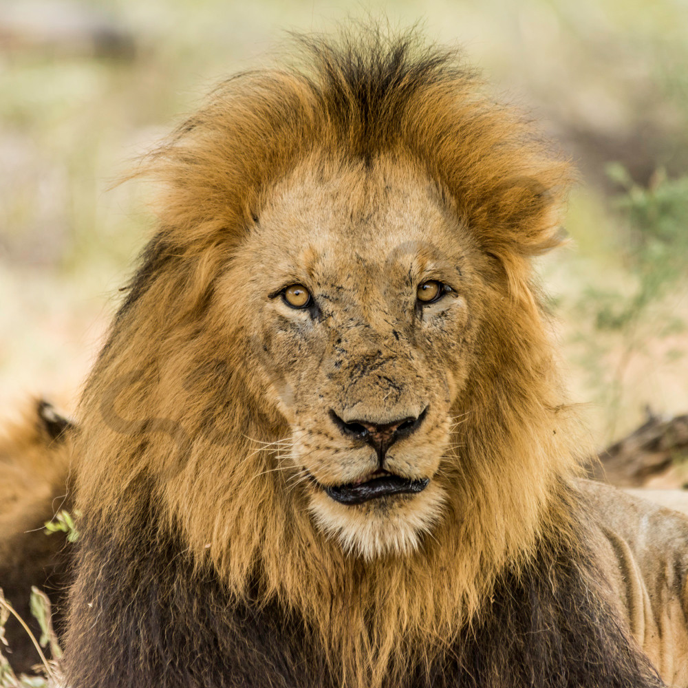 Older male lion with many scars on face and piercing eyes