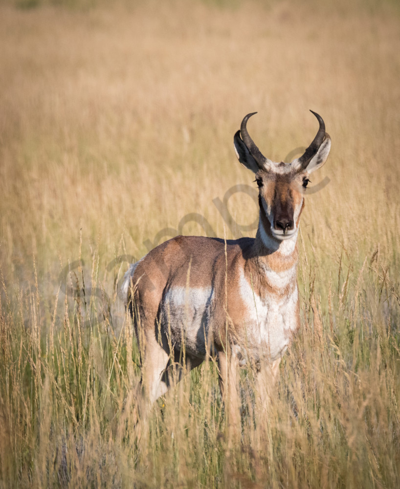 Pronghorn Antelope Photo for sale: Barb Gonzalez Photography