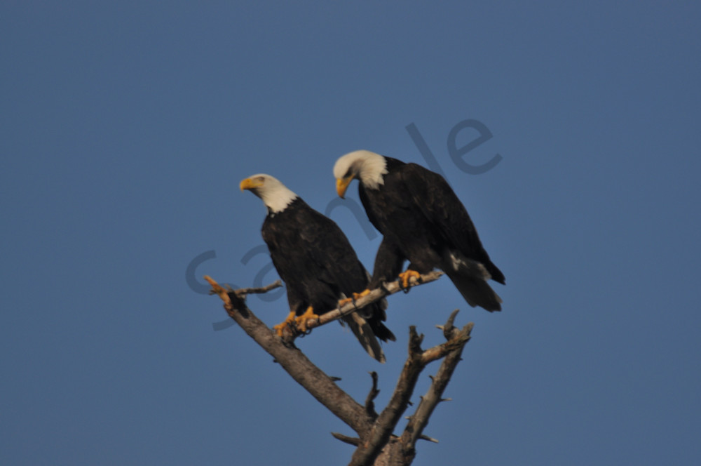 Two Eagles Perching on a Tree - Product 1249503 - MH Photography