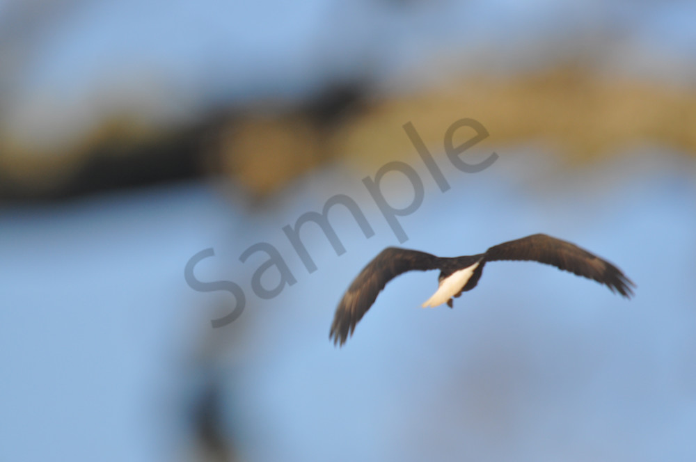 American Bald Eagle Soaring Through Trees - MH Photography