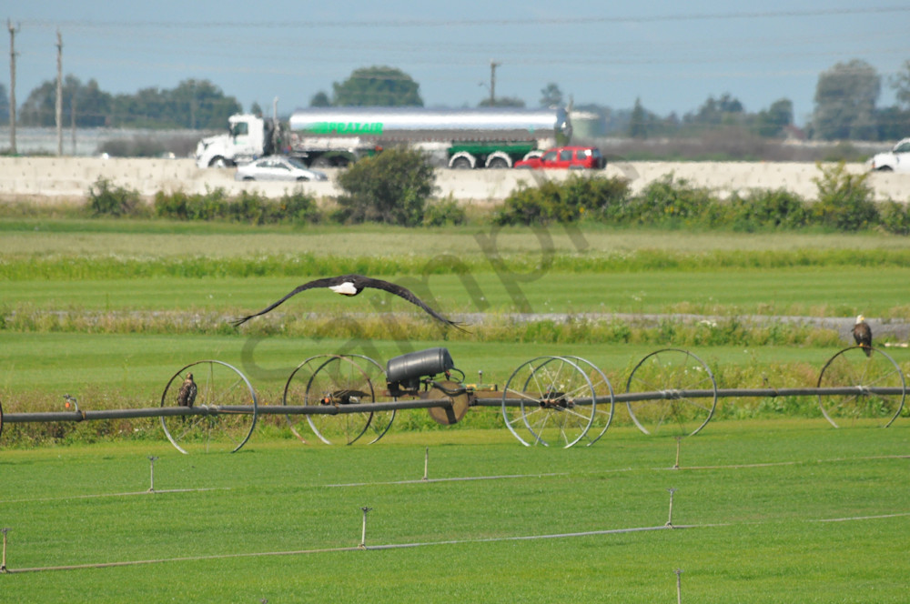 Eagle Flying Over Fields - Product #1259697 - MH Photography