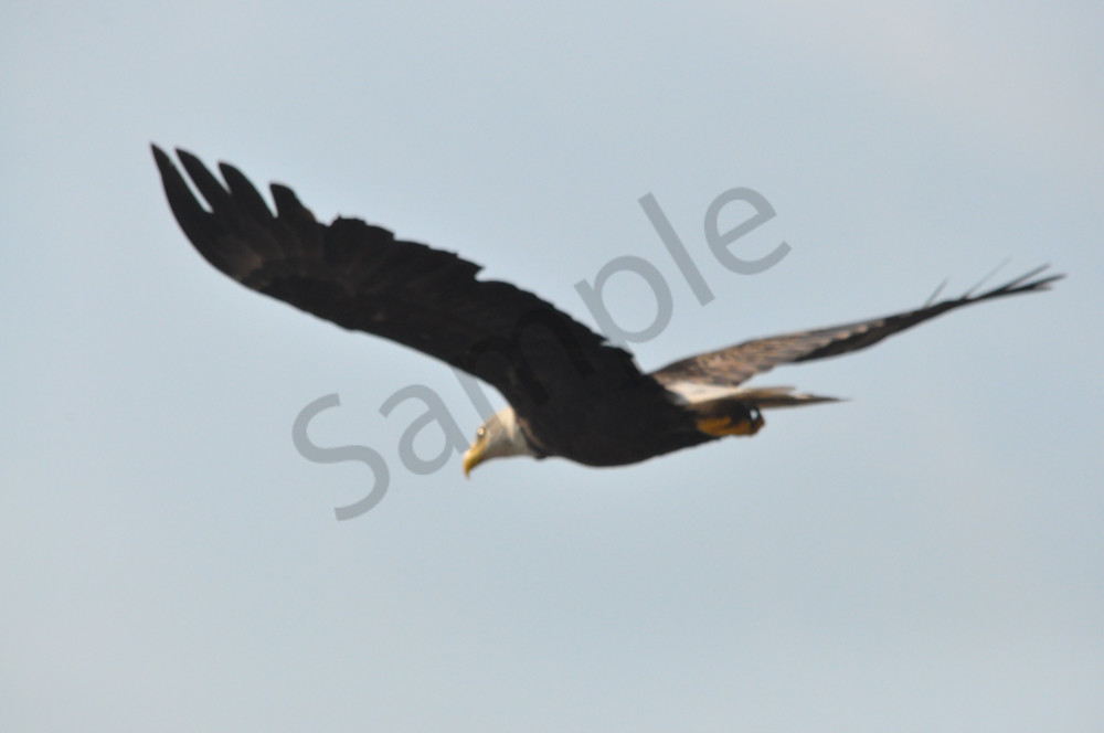Beautiful Bald Eagle Soaring Skies - MH Photography