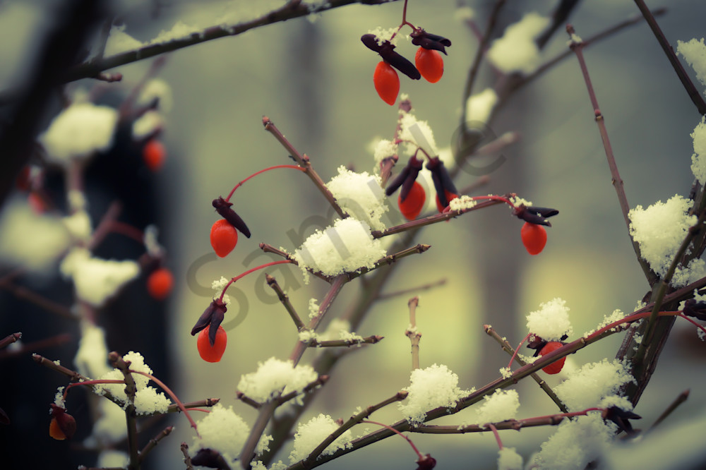 Berries In Snow Photography Art | Sage & Balm Photography
