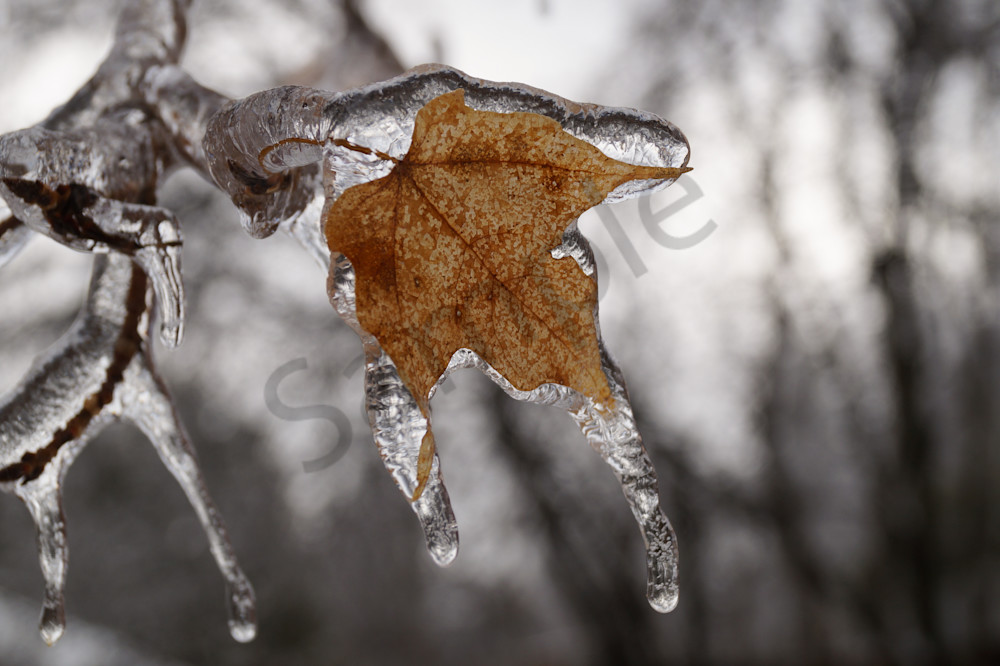 Icy Maple Photography Art | Sage & Balm Photography