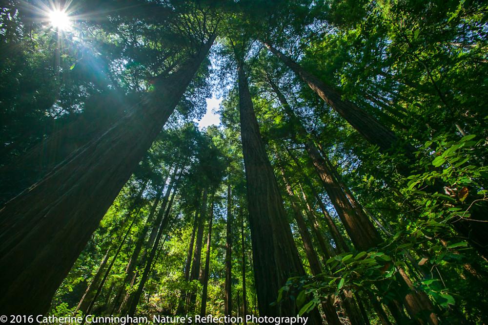 Redwood Light