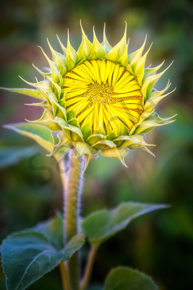 Sunflower Bud, Verona, Wisconsin, USA