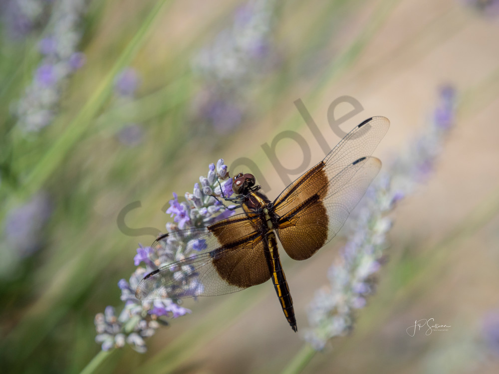 dragonfly - summer flower - photograph by JP Sullivan Photography - fine art prints