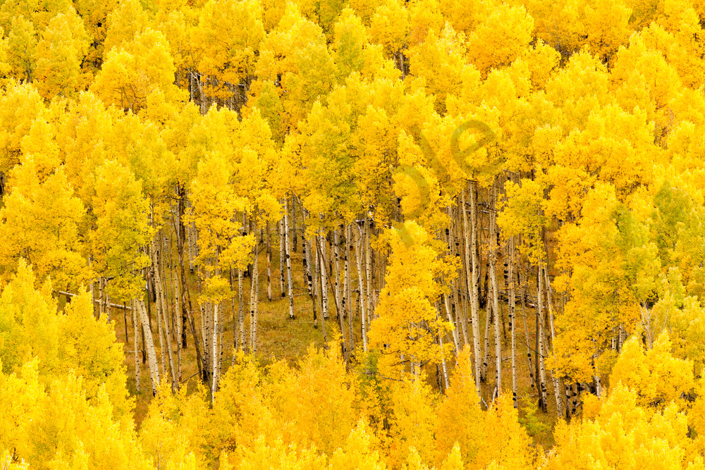 Yellow aspen trees on Aspen Ridge, Buena Vista,  Colorado