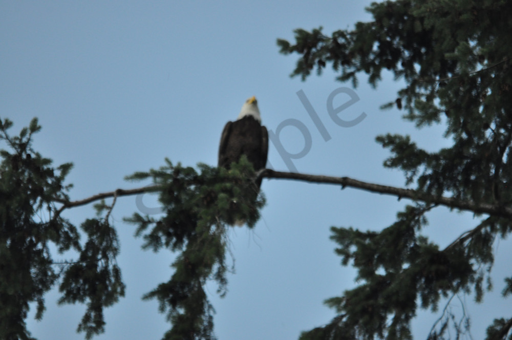 Single Eagle Perching - Product #1304237 - MH Photography