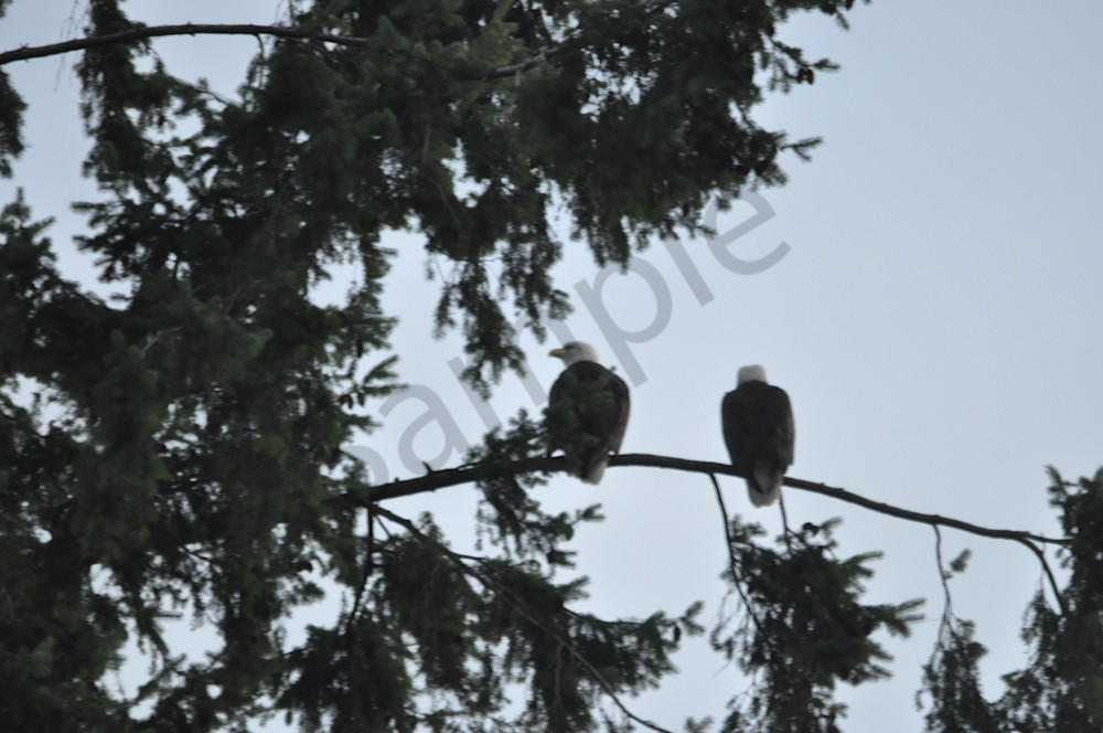 Two Eagles Perching - Product 1304241 - MH Photography