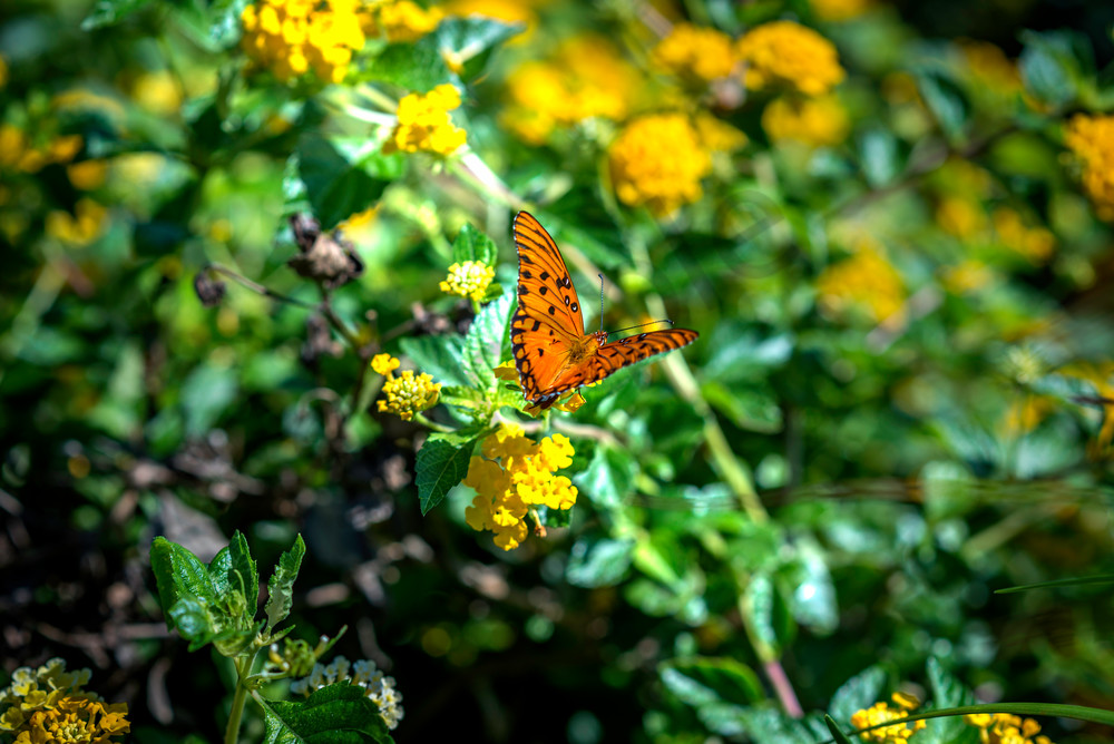 Butterfly Alight print for sale | Susan J Photography