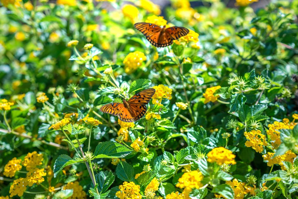 Fluttering Flowers butterfly print   Susan J Photography