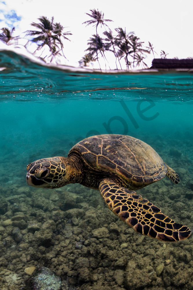 Hawaii Photography Honu Below The Surface By Leighton Lum
