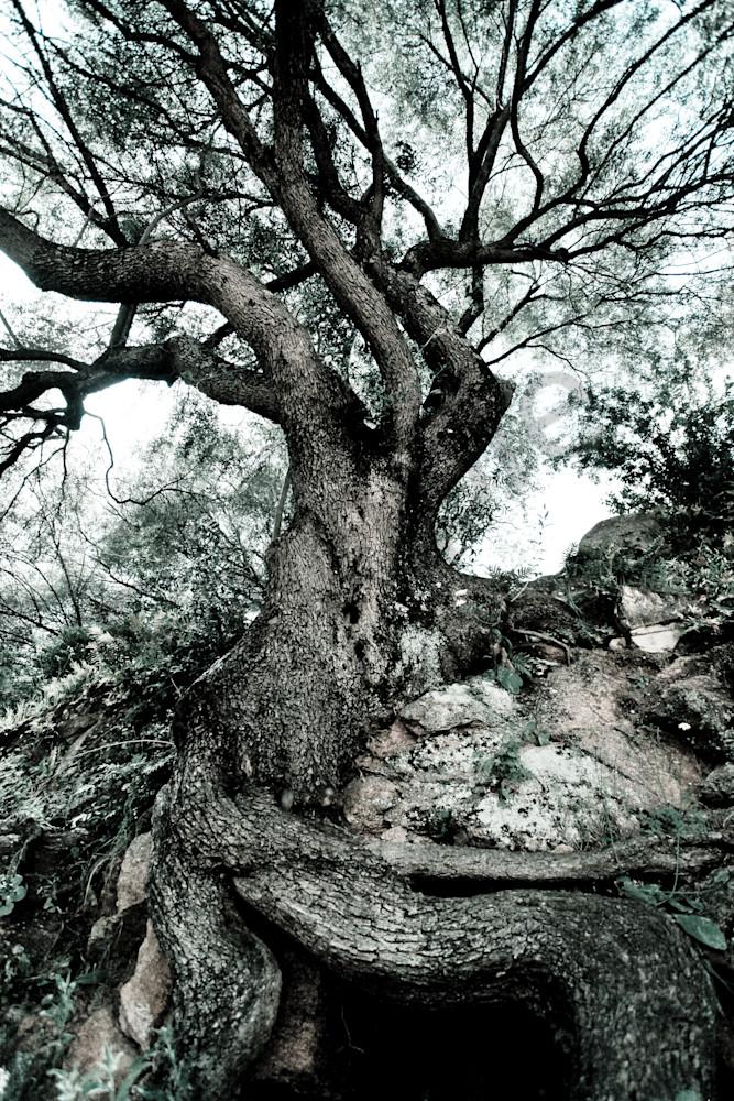 """Strong Roots"" Fine Art Photography by Karen Edmondson | Prophetics Gallery"