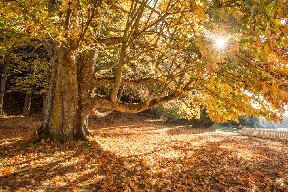 Autumn Maple Sunburst Photo for sale  Barb Gonzalez Photography