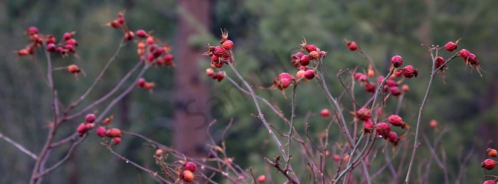 January Rosehips