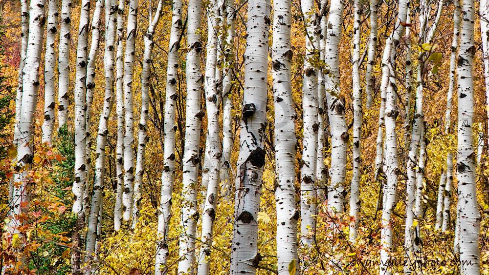 Aspen Eyes  Photography Art | Swan Valley Photo