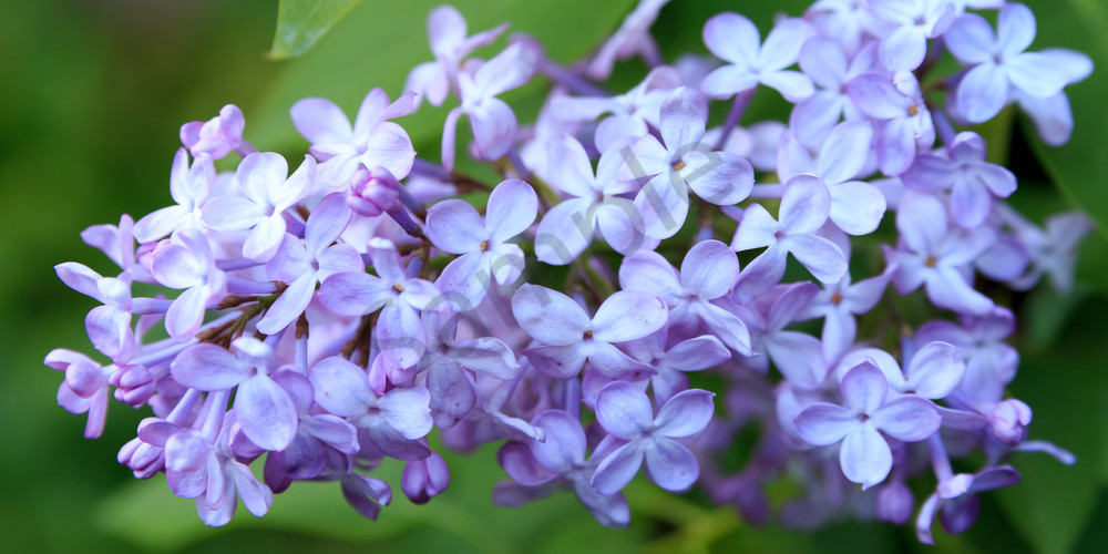 Flower Wall Art: Lilac Blooms of Lavender
