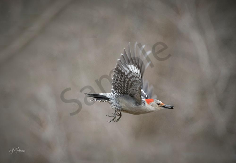 Red Bellied Woodpecker in Flight - Fine art photography - JP Sullivan Photography Inc