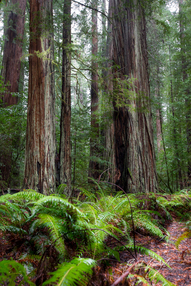 Ferns along a redwood forest trail photo for sale | Barb Gonzalez Photography