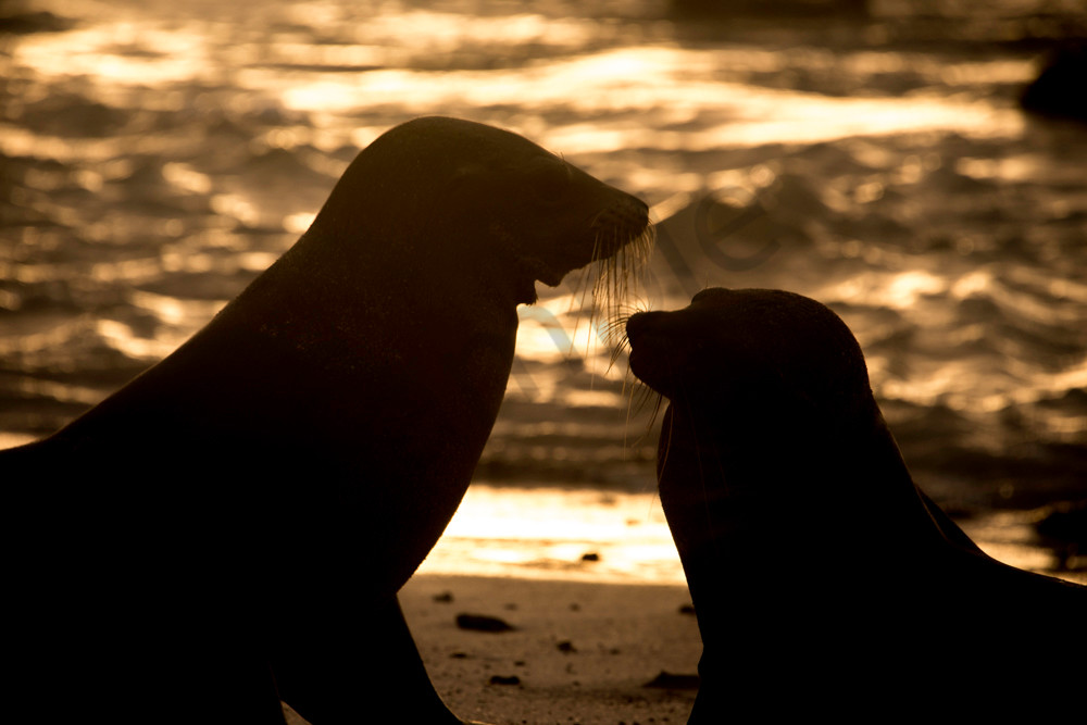 Two silhouetted Sea-lions on beach at sunset